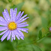 Asters 7-20-14 Day 201